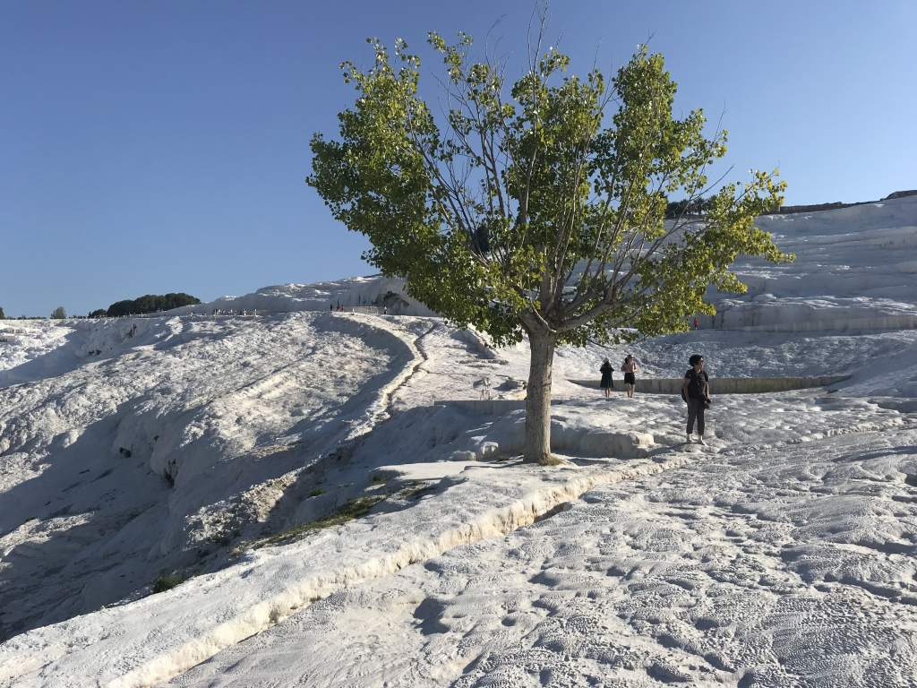 A single tree sitting in the white Pamukkale tavertines.