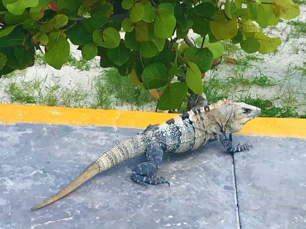 An iguana by the beach.