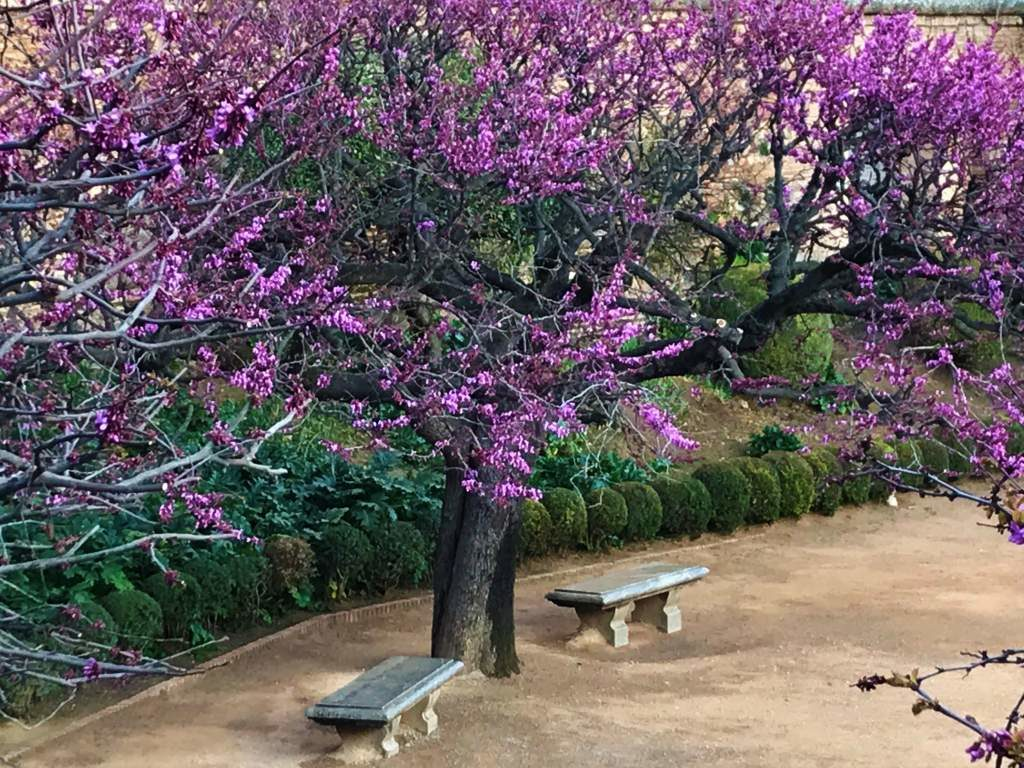 Two benches beneath a tree with purple blossoms.