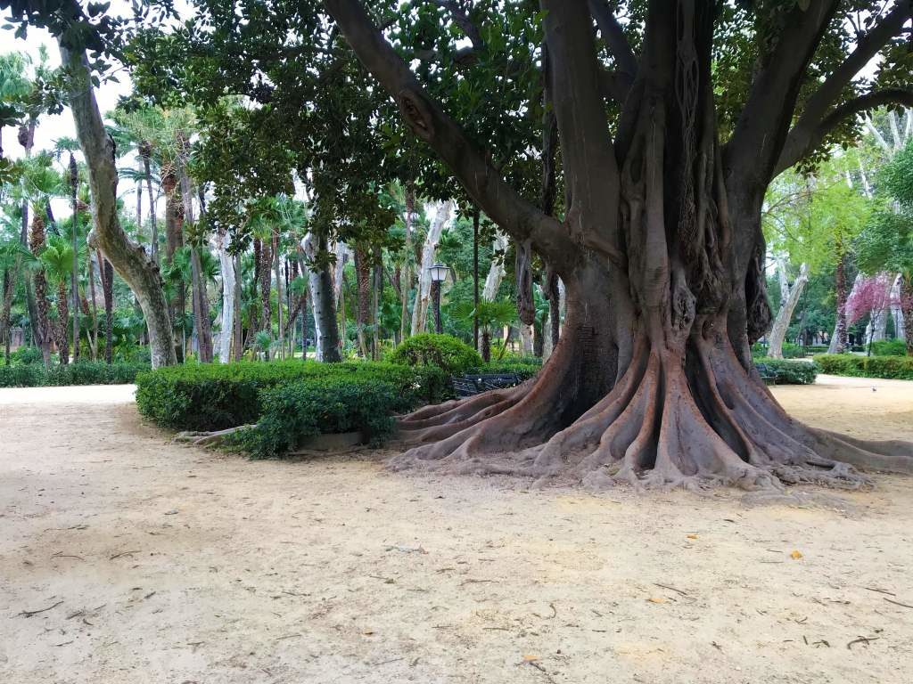 A large tree and dirt, wheelchair accessible paths at María Luisa Park.