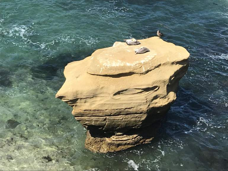 Pelicans sleeping on a rock in La Jolla.