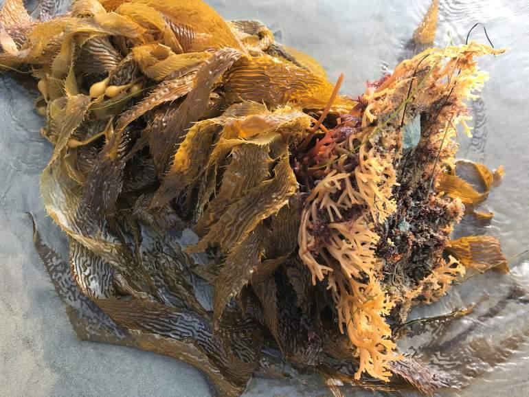 Washed up giant sea kelp.