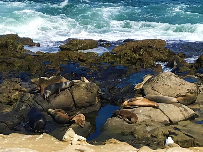 Sea lions resting near the shore at La Jolla Cove.