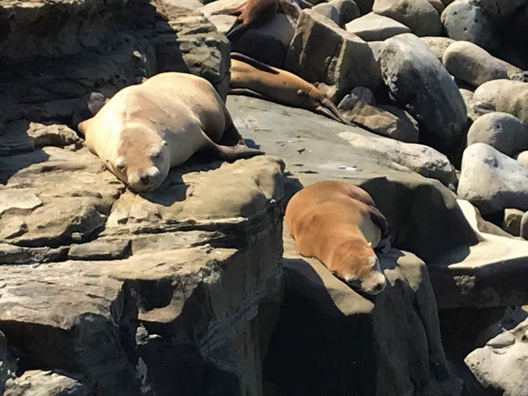 Sleeping sea lions at La Jolla Cove.