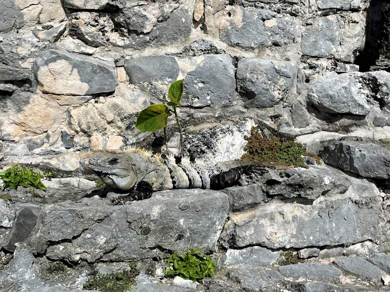 A grey iguana blending into the stone ruins.