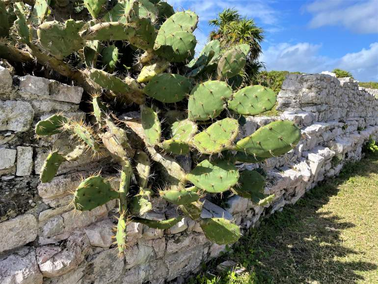 Prickly pear cactus growing on a ruin wall.