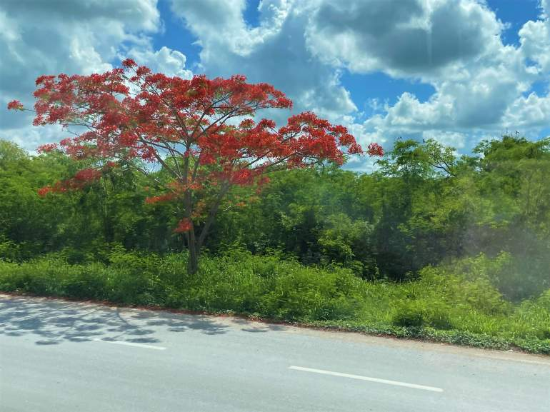 An orange flowering tree on the bus route from Merida to Progreso.